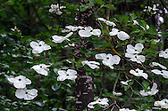 Eddie's White Wonder Dogwood flowers (hybrid between Cornus nuttallii x Cornus florida).  This hybrid was developed between the Pacific Dogwood and the Flowering Dogwood partly to avoid the fungus that damages the Pacific Dogwood.