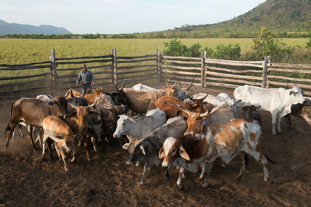 Working cattle Saddle Mountain<br /> Saddle Mountain Ranch<br /> Savanna <br /> Rurununi<br /> GUYANA<br /> South America,<br /> cattle