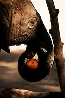 Indian elephant at Oakland Zoo enjoys pumpkin.  Copyright 2008 Reid McNally.