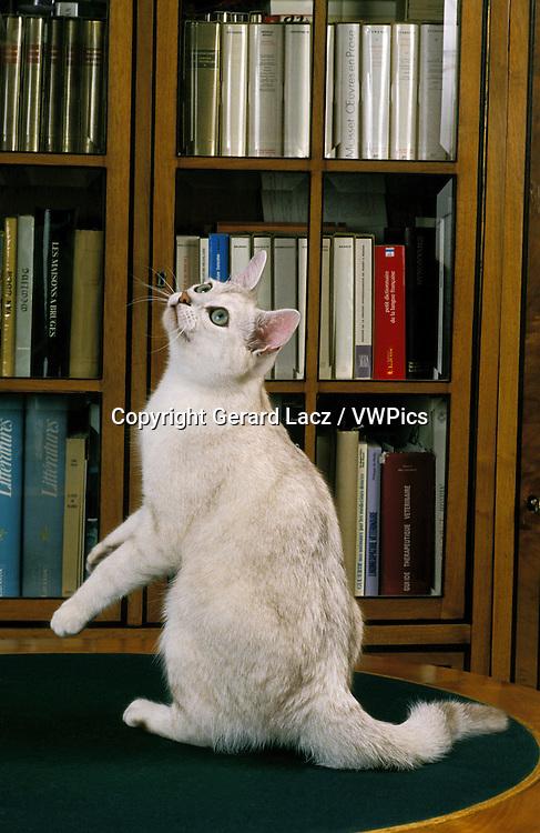 Burmilla Domestic Cat, Adult sitting near Bookshelf