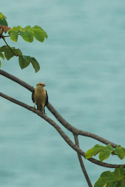 Yellow-headed Caracara  sitting in a tree on Costa Rica