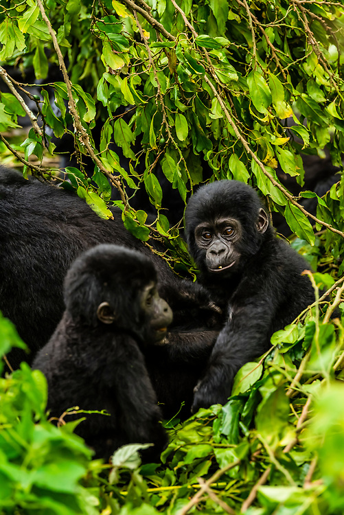 Baby mountain gorillas playing in the vegetation of the rain forest, Bwindi Impenetrable National Park, southern Uganda, near the border of Rwanda and Congo.                                                                    Bwindi Impenetrable Forest contains 400 Mountain Gorillas, half the world's population of Mountain Gorillas. It is a World Heritage Site.<br /> <br /> The Bwindi Impenetrable Forest is a large primeval forest located in south-western Uganda in the Kanungu District. The forest is on the edge of the Albertine Rift, the western branch of the East African Rift, at elevations ranging from 1,160 to 2,607 metres (3,806 to 8,553 ft).