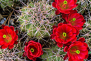 Claret Cup Cactus Flowers in the desert