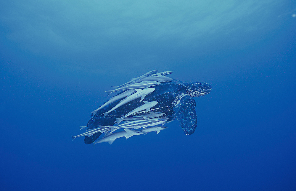 1st Place; 2002 BBC/BG Wildlife Photographer of the Year (Gerald Durrell Award for Endangered Wildlife category): Female Leatherback Turtle, Dermochelys coriacea & remoras swims offshore Juno Beach, Florida, United States Image available as a premium quality aluminum print ready to hang.