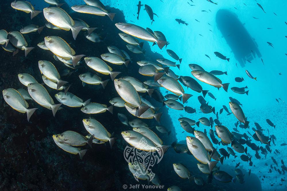 Schooling Rabbitfish and dive tender<br /> <br /> Shot in Indonesia