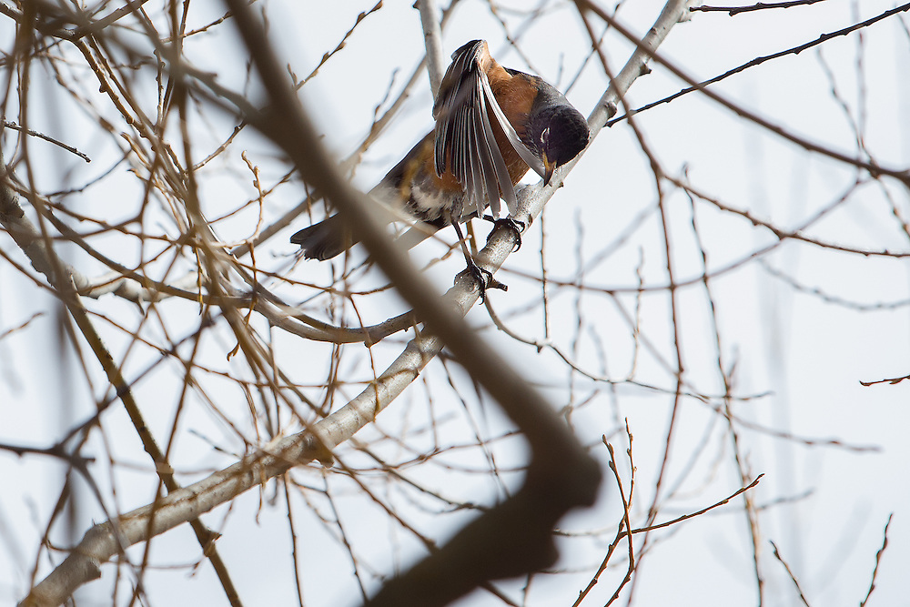 GABE GREEN/Press<br /> <br /> A robin grooms its feathers while perched in a tree on the bank of Hayden Lake near Honeysuckle Beach Wednesday.