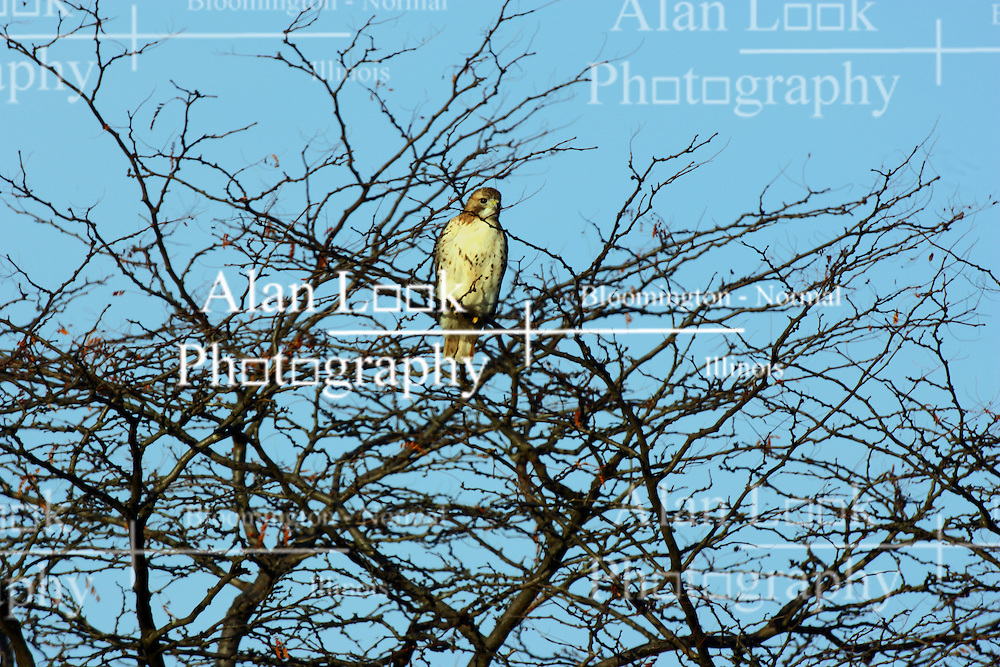 "10 November 2007: Red Tailed hawk. Comlara Park, McLean County, Illinois  The red-tailed hawk is a bird of prey, one of three species colloquially known in the United States as the ""chickenhawk,"" though it rarely preys on standard sized chickens"