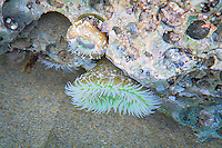 This beautiful coldwater-loving anemone is a shocking green color and is found along the Pacific Northwest Coast along the intertidal zone to about 15' deep.  These were found on a rock at low tide and photographed through still water on Oregon's Northern coastline at low tide at Hug Point.