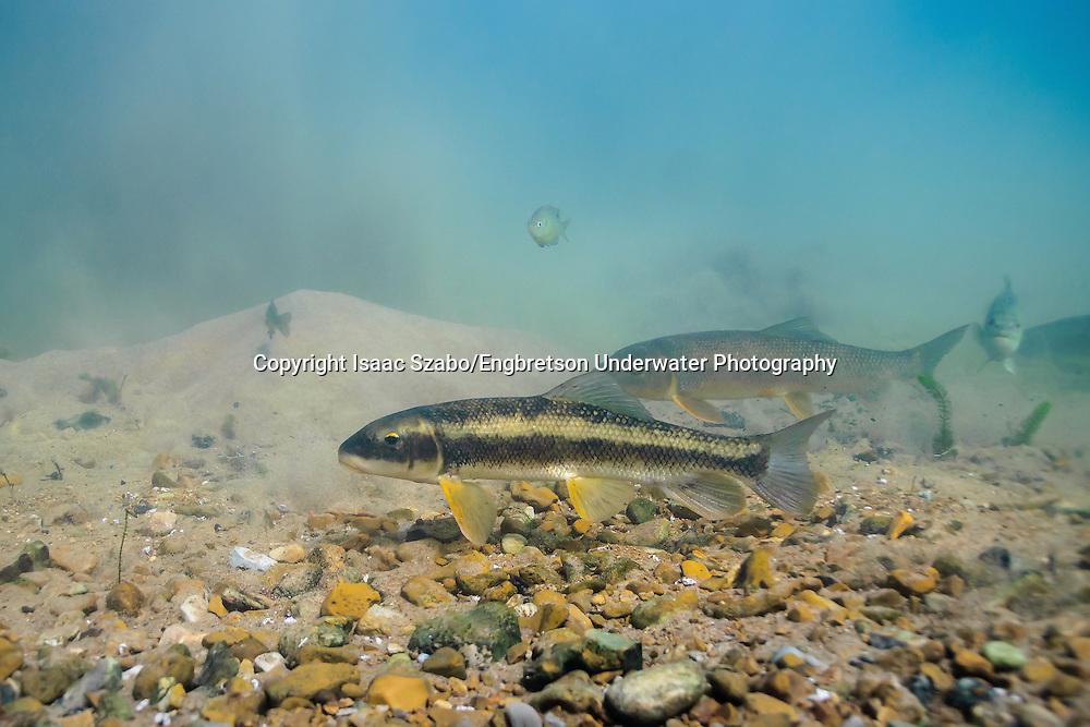 White Sucker<br /> <br /> Isaac Szabo/Engbretson Underwater Photography