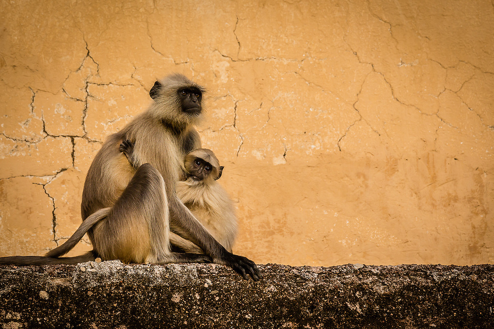A langur monkey (Semnopithecus dussumieri) female protects her child. Southern Plain Grey Langurs are the most common species of Langur Monkeys in India
