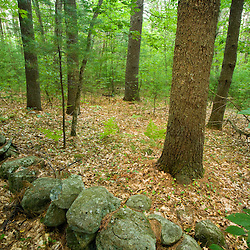Stone wall in an Oak-Pine forest in Pepperell, Massachusetts.