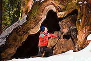 Backcountry skier and Giant Sequoia, Giant Forest, Sequoia National Park, California