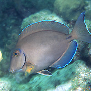 Ocean Surgeonfish inhabit reefs in Tropical West Atlantic; picture taken Key Largo, FL.