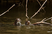 Giant Otter (Pteronura brasiliensis)<br /> Rainforest<br /> Rewa River<br /> GUYANA. South America<br /> RANGE: Orinoco, Amazon, and Guianas river systems<br /> IUCN: ENDANGERED SPECIES