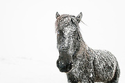 Icelandic horses in winter