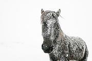 Icelandic horses in winter