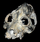 This skull, one of several different kinds of giant lemur inhabitating Madagascar that became extinct in relatively recent times.  The fossil evidence strongly points to these mammals becoming extinct soon after modern man reached Madagascar - evidence that people have been affecting the ecological balance since prehistoric times.