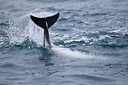 fluke of a Dusky Dolphin, New Zealand