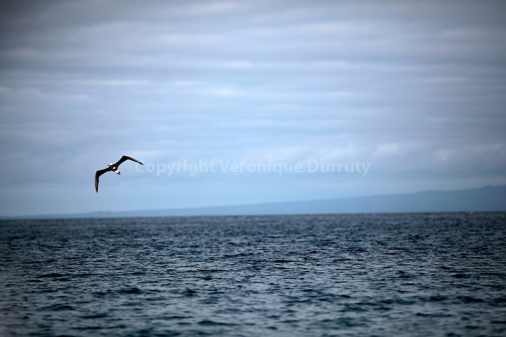 Flying Magnificent frigatebird, Galapagos, Ecuador // Frégate en vol, îles Galapagos, Equateur