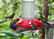 Hummingbirds gather at a feeder at Bellavista Cloud Forest Reserve, near Quito, Ecuador, South America.