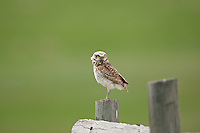 Burrowing Owl can be found perched on anything that gives them a better view into their hunting grounds.