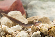 Comal Springs Salamander (Eurycea sp.)<br /> TEXAS: Hays Co.<br /> Comal Springs<br /> 29-Oct-2015<br /> J.C. Abbott &amp; K.K. Abbott