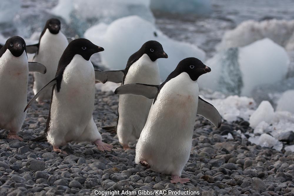 Adelie penguin, Antarctica, Pygoscelis adeliae, walking along shoreline, Brown Bluff.