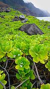 Naupaka flower and plant, Kalalau Valley, .Napali Coast, Kauai, Hawaii