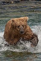 Brown Bear (Ursus arctos) chases chum salmon across McNeil River; fishing; McNeil River State Game Sanctuary; Alaska