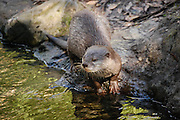 This is a photograph of an Otter.