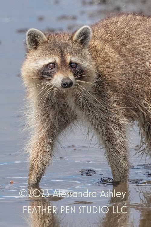 Adult raccoon (Procyon lotor) walks through mud at Merritt Island NWR on Florida's Atlantic coast.