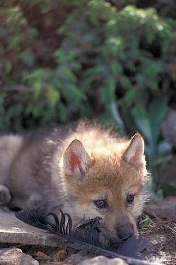 Gray Wolf, (Canis lupus) Pup. Spring. Montana.  Captive Animal.