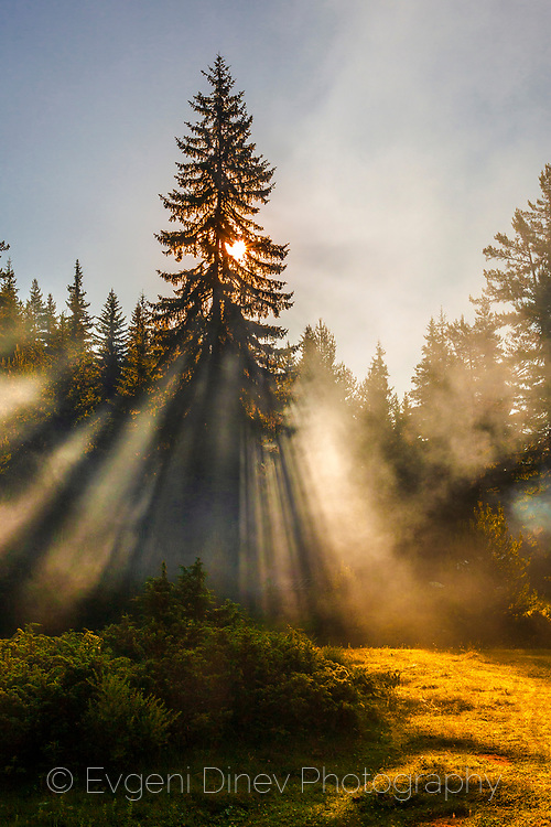 Sunbeams through a pine tree