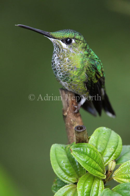 Female Green-crowned Brilliant Hummingbird (Heliodoxa jacula). Monteverde Cloud Forest Preserve, Costa Rica. <br /> <br /> For pricing click on ADD TO CART (above). We accept payments via PayPal.
