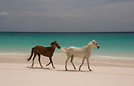 Horses walking on Pink Sands Beach, Harbour Island, The Bahamas