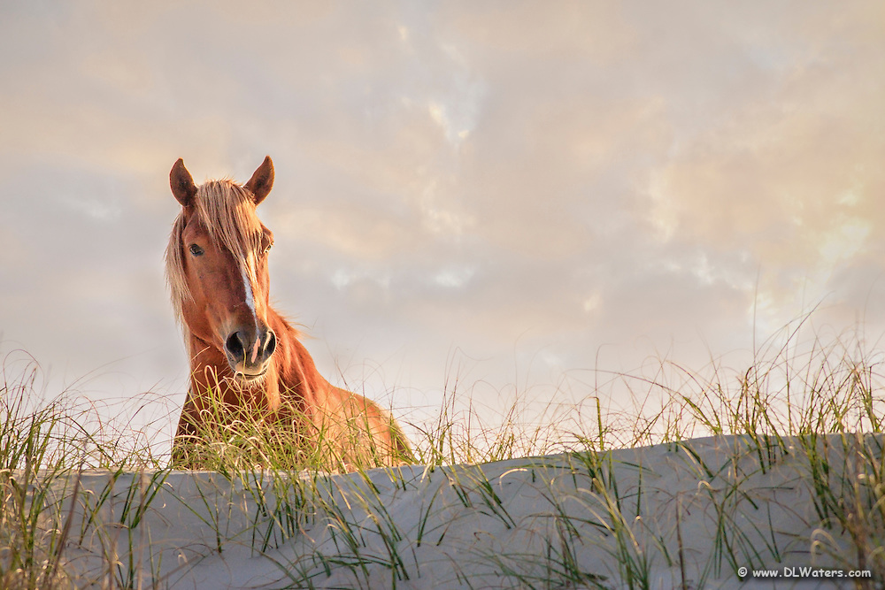 Back lit wild stallion on a high sand dune along the NC coast.