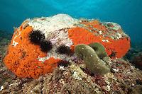 Rock covered with encrusting sponge (Spirastrella cunctatrix) and sea urchin (Arbacia lixula) and Green ball (Codium bursa) Larvotto Marine Reserve, Monaco, Mediterranean Sea<br /> Mission: Larvotto marine Reserve