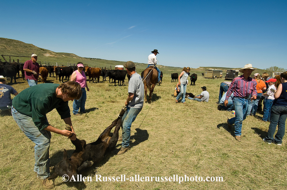 Cowboy, Rancher, Pat Linger, drags calves to fire,  branding, east of Miles City, Montana