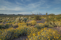 Sonoran desert featuring Brittlebush (Encelia farinosa) Ocotillo (Fouquieria splendens) and Jumping Cholla (Cylindropuntia fulgida), Superstition Mountains, Arizona