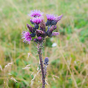 Purple Alpine Thistle, Photographed in Austria, Tyrol