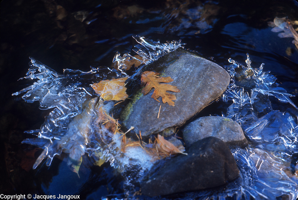 Canyon del Morto in Canyon de Chelly National Monument, Arizona, USA. Morning ice on Tsaile Creek (early November). Gambel oak leaves. Gambel Oak (Quercus gambelii)   FAGACEAE