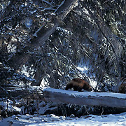 Wolverine, (Gulo gulo) Adult in Snowy Rocky mountains. Montana. Captive Animal.