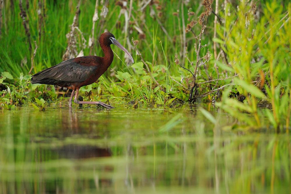 Glossy ibis, Plegadis falcinellus, Danube delta rewilding area, Romania