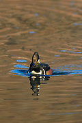 Hooded Merganser Drake in Breeding Plumage