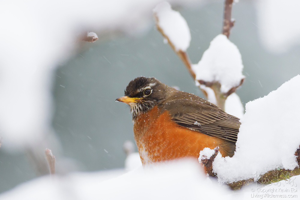 An American robin (Turdus migratorius) is surrounded by fresh winter snow on a branch in Snohomish County, Washington.