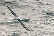 Southern Royal Albatross (Diomedea epomophora) in the Drake Passage, Southern Seas