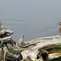A female Mallard Duck, Anas platyrynchos, standing on a weathered dead tree toppled at the edge of a salt marsh. Richard DeKorte Park, Meadowlands, Lyndhurst, New jersey, USA, North America