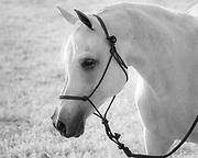 C. N. IBN Laurence, aka Jojo, Registered Bloodlines: Egyptian/Davenport Arabian stallion
