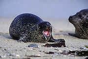 Harbor Seal <br /> Phoca vitulina<br /> Young pup yawning w/ milk covered mouth<br /> Monterey Bay, CA, USA