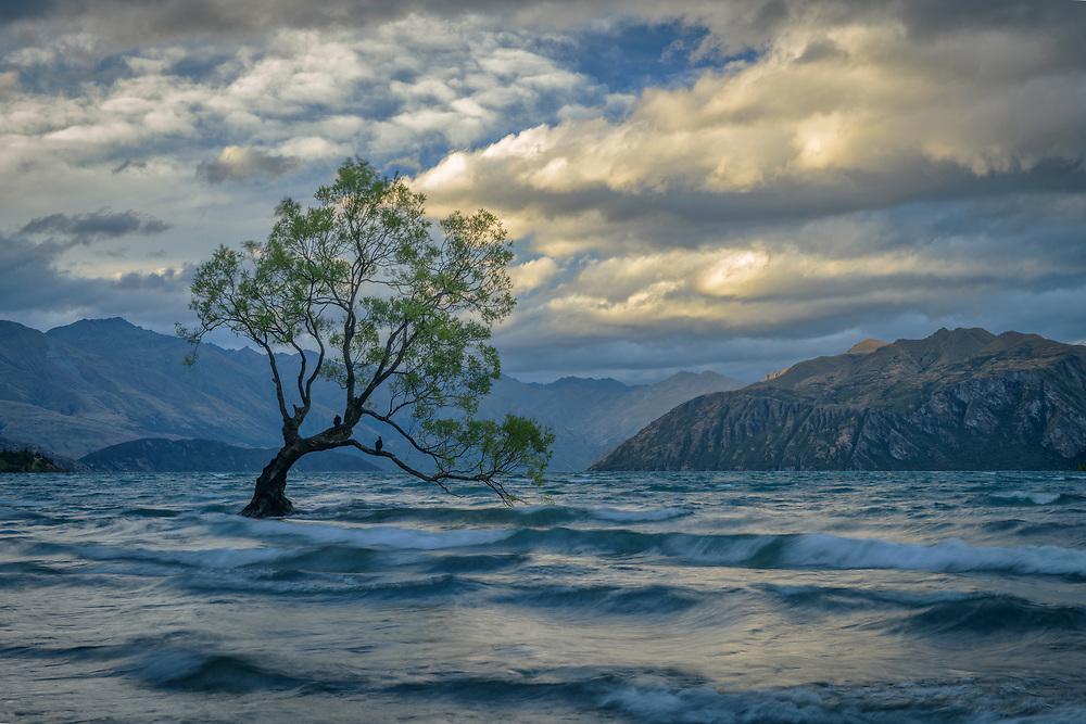 Oceania, New Zealand, Aotearoa, South Island, Wanaka, Wanaka Tree
